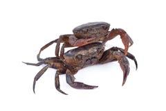 在白色背景的新鲜的ricefield螃蟹 免版税库存图片