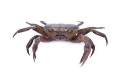在白色背景的新鲜的ricefield螃蟹 免版税图库摄影