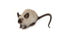 在白色背景的暹罗老鼠 免版税库存图片