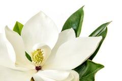 在白色背景的木兰花 免版税库存照片