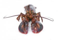 在白色背景的未加工的加拿大龙虾菜单的 图库摄影