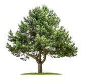 在白色背景的杉树 免版税库存照片