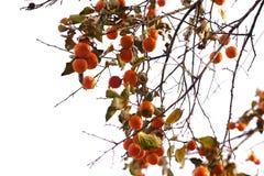 在白色背景的柿树 免版税库存图片