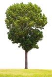 在白色背景的树和草孤立 免版税库存图片