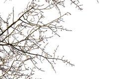 在白色背景的树枝 库存图片