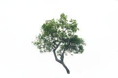 在白色背景的树灌木 库存图片