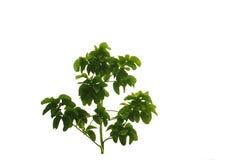 在白色背景的树灌木 免版税库存照片