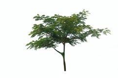 在白色背景的树灌木 免版税库存图片