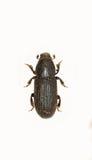 在白色背景的树皮甲虫 免版税库存图片