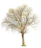 在白色背景的树自然 库存照片