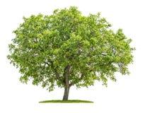 在白色背景的核桃树 库存照片