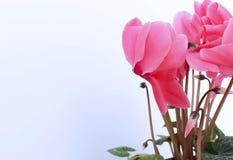 在白色背景的桃红色仙客来花 库存图片