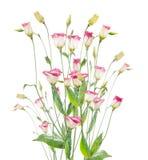 在白色背景的桃红色吊钟花束 库存图片