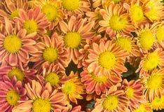 在白色背景的桃红色和橙色花 黄色春天花 免版税库存照片