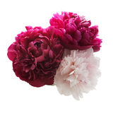 在白色背景的桃红色和紫色牡丹束 免版税库存照片