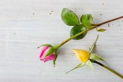 在白色背景的桃红色和黄色玫瑰花蕾 库存图片