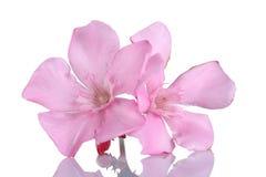 在白色背景的桃红色夹竹桃花 图库摄影