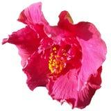 在白色背景的桃红色木槿花 免版税库存图片