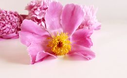 在白色背景的桃红色牡丹花与招呼的消息的拷贝空间 下雨 背景蒲公英充分的草甸春天黄色 华伦泰 库存照片