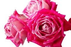 在白色背景的桃红色玫瑰束 库存图片