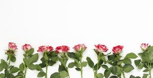 在白色背景的桃红色玫瑰 情人节,母亲节,妇女的天概念 平的位置,顶视图,拷贝空间 免版税库存图片