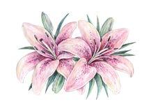 在白色背景的桃红色百合花 水彩手工例证 开花的百合图画与绿色叶子的 向量例证