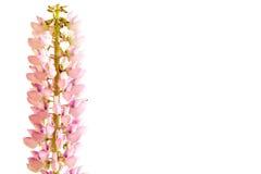 在白色背景的桃红色羽扇豆 免版税库存照片
