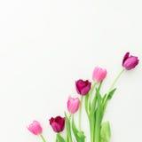 在白色背景的桃红色郁金香花 平的位置 顶视图 免版税库存图片