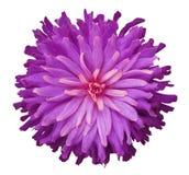 在白色背景的桃红色紫色花隔绝与裁减路线 特写镜头 免版税库存照片