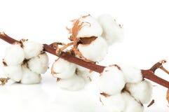 在白色背景的棉花枝杈 库存照片