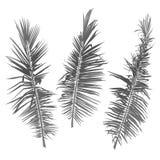在白色背景的棕榈树分支 库存图片