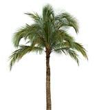 在白色背景的棕榈树 免版税库存图片