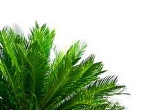 在白色背景的棕榈树 库存照片