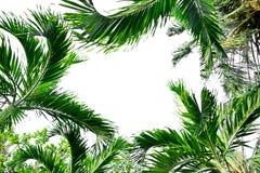 在白色背景的棕榈树 免版税库存照片