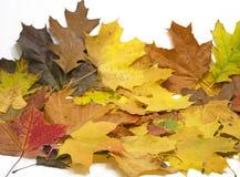在白色背景的槭树和橡木叶子 免版税库存照片