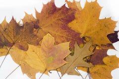 在白色背景的槭树和橡木叶子 库存照片
