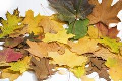 在白色背景的槭树和橡木叶子 图库摄影