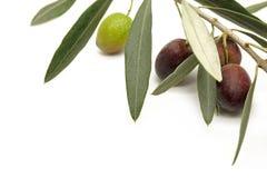 在白色背景的橄榄树枝 免版税库存照片