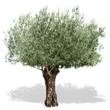 在白色背景的橄榄树 库存图片