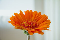在白色背景的橙色大丁草花 免版税库存照片