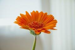 在白色背景的橙色大丁草花 库存图片