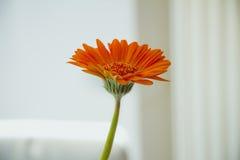 在白色背景的橙色大丁草花 库存照片