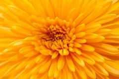 在白色背景的橙色菊花 免版税库存图片