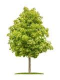 在白色背景的欧洲七叶树树 免版税图库摄影