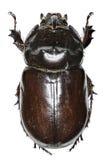 在白色背景的欧洲犀牛甲虫 免版税库存图片
