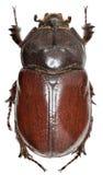 在白色背景的欧洲犀牛甲虫 免版税图库摄影