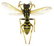 在白色背景的欧洲纸质黄蜂 库存图片