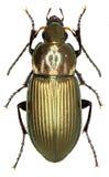 在白色背景的步行虫Poecilus 免版税库存图片