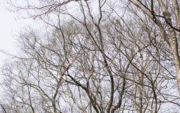 在白色背景的死的树 库存图片