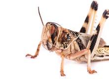 在白色背景的沙漠蝗虫 图库摄影